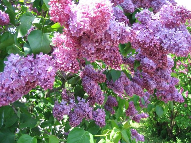Magnificent lilac