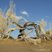 Old saxaul tree