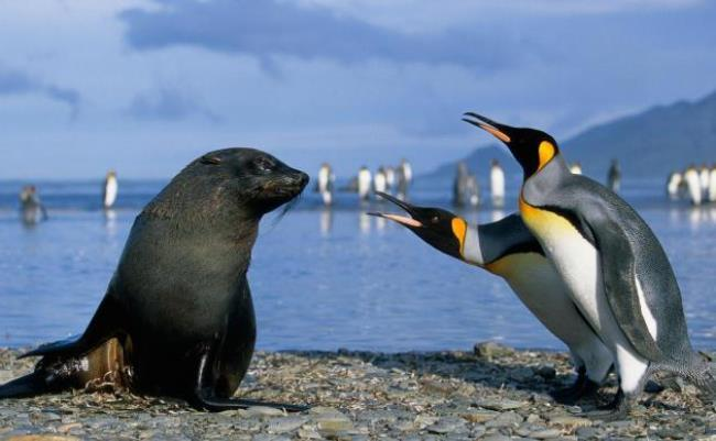 Penguins vs sea leopard