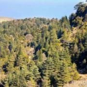 Picturesque cedars
