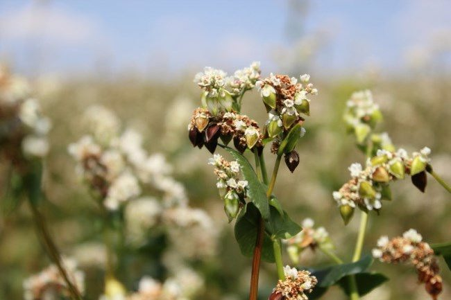 Pretty buckwheat flowers