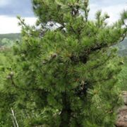 Stunning cedar