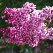 Stunning lilac