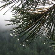 Useful cedar