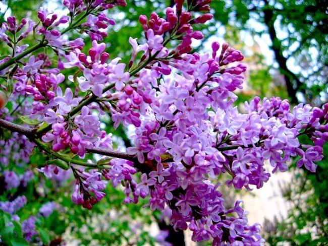 Wonderful lilac
