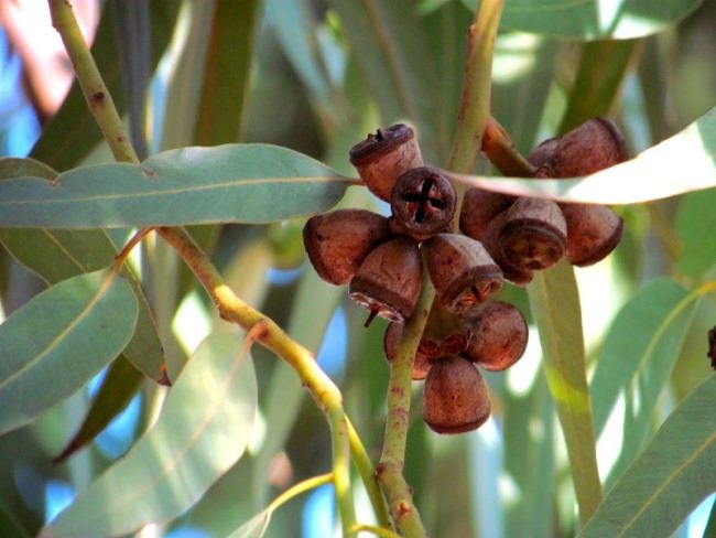 Amazing eucalyptus