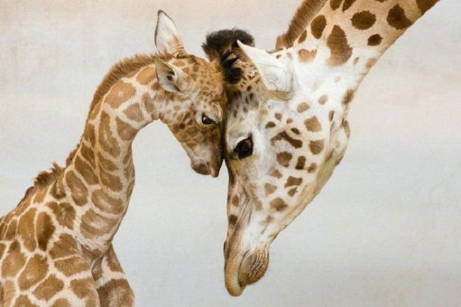 Amazing giraffes