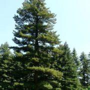 Amazing pine