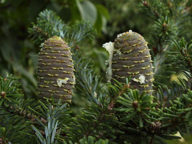 Attractive conifer