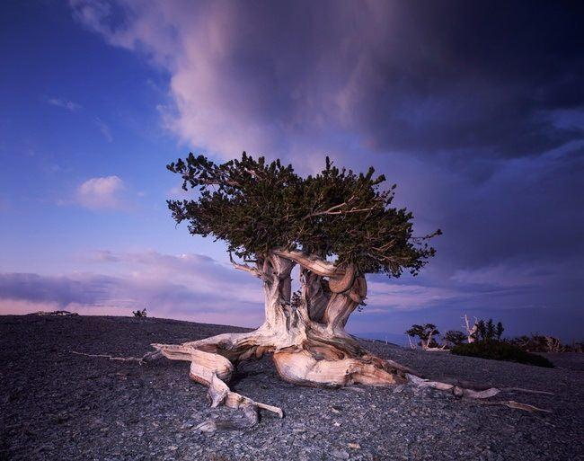 Attractive pine