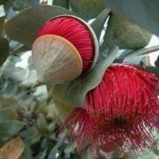Awesome eucalyptus