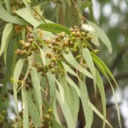 Beautiful eucalyptus