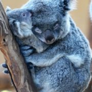 Beautiful koalas