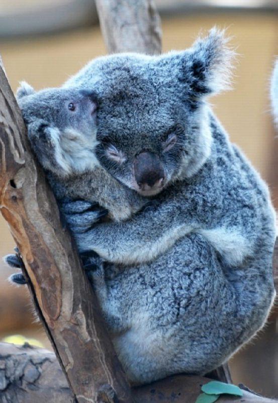 Beautiful koalas