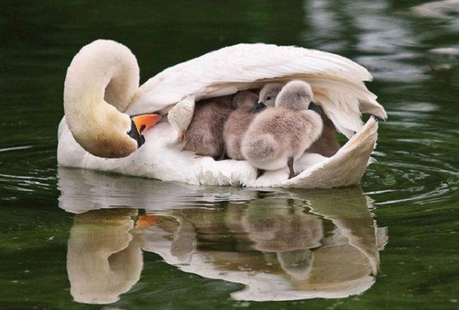 Charming swans