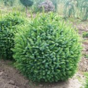 Dwarf Serbian spruce
