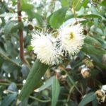 Eucalyptus – Australia's Gum Tree