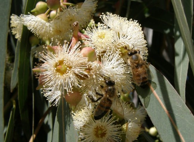 Evergreen eucalyptus is a wonderful honey plant