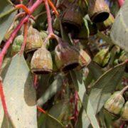Gorgeous eucalyptus