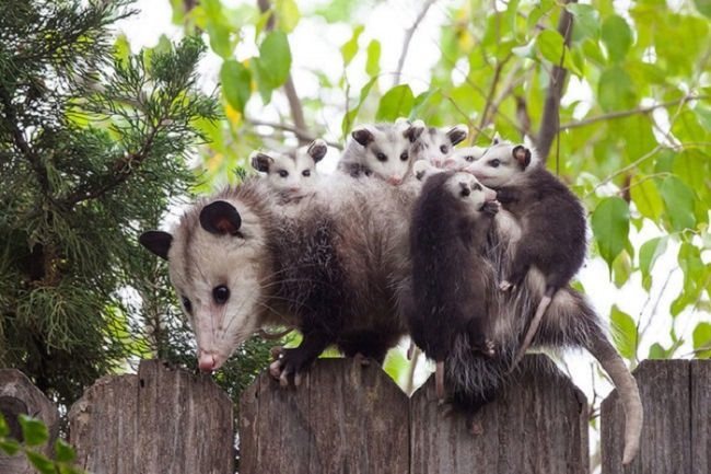 Interesting opossums