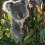 Koalas eat only eucalyptus leaves