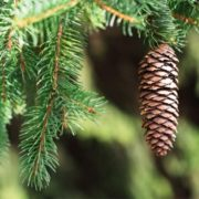 Lovely conifer
