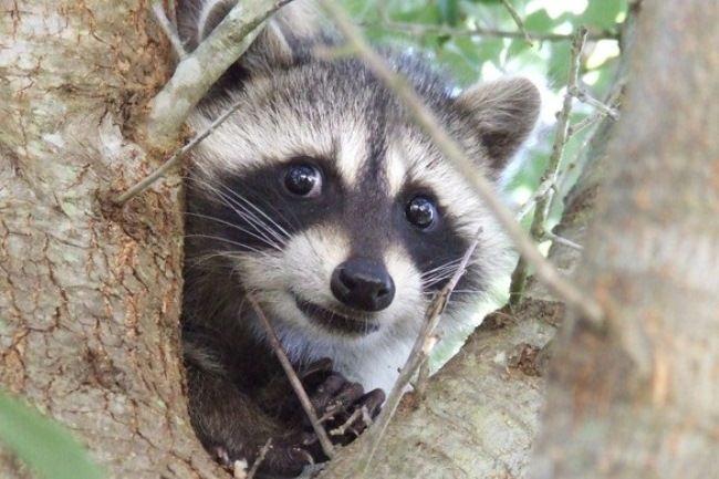 Lovely raccoon