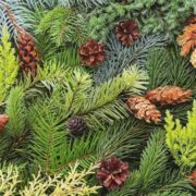 Pretty conifer