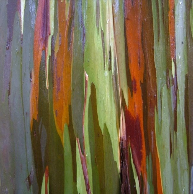 Pretty eucalyptus