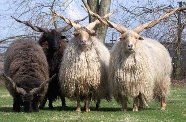 Racka - sheep breed