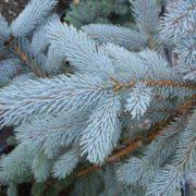 Stunning conifer