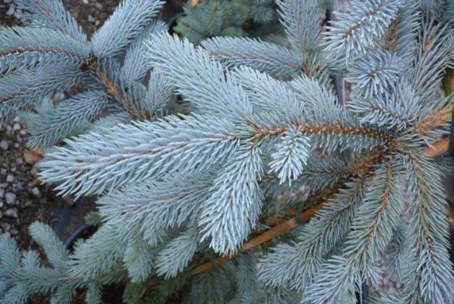 Stunning conifer