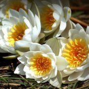 Amazing lilies