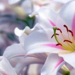 Astonishing lilies