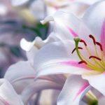 Astonishing lilies