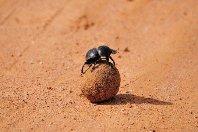 Attractive scarab