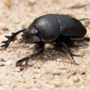 Pretty scarab
