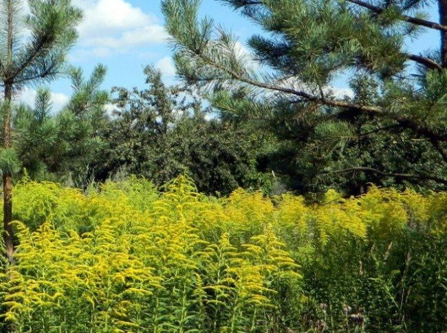 Amazing goldenrod