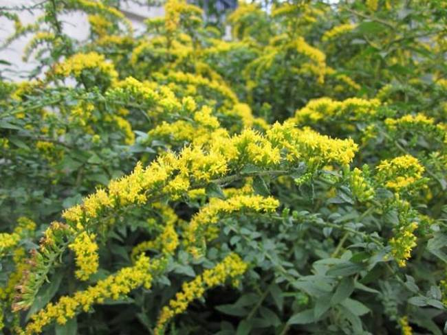 Astonishing goldenrod