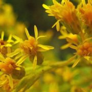 Attractive goldenrod