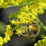 Bee on the goldenrod