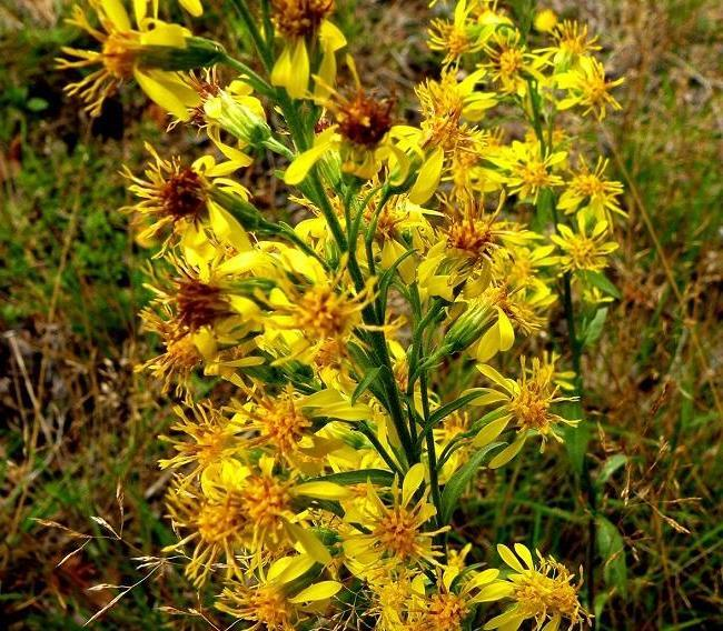 Charming goldenrod