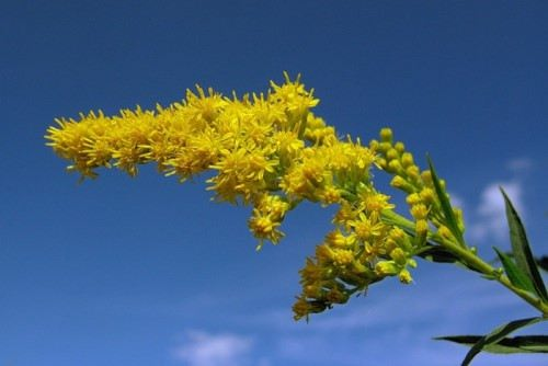 Goldenrod – yellow flowers