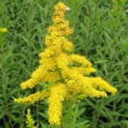 Great goldenrod