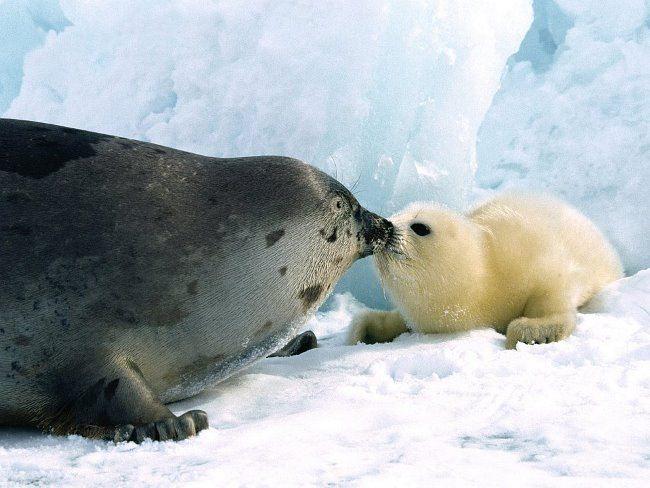 Greenland Seals
