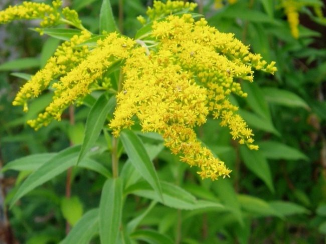 Interesting goldenrod