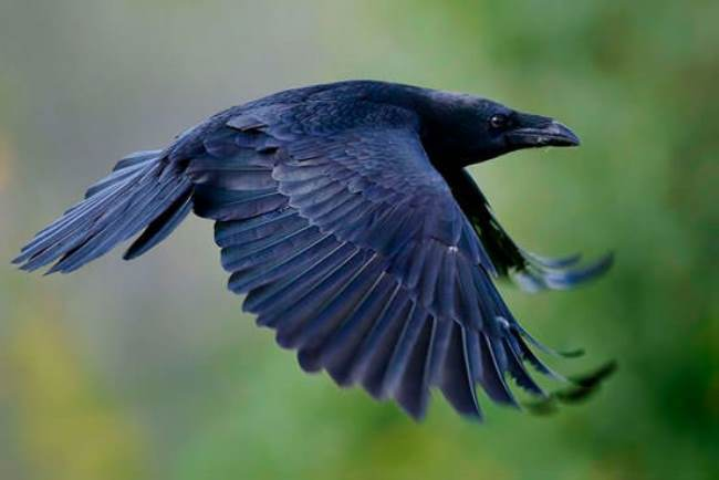 Lovely crow