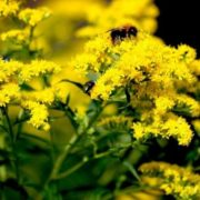 Magnificent goldenrod