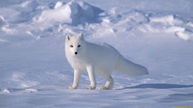 Polar Arctic fox