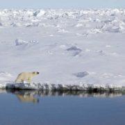 Polar bear in Greenland